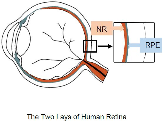 眼部周围结构示意图